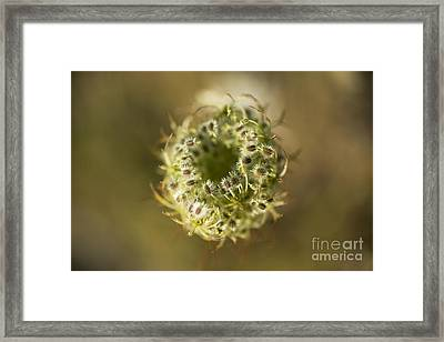 Queen Anne's Lace Going To Seed Framed Print by Charmian Vistaunet