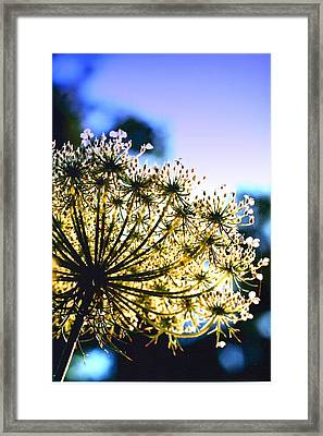 Queen Anne's Lace II Framed Print by Diane Merkle