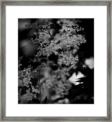 Queen Anne's Lace Framed Print by Jp Grace