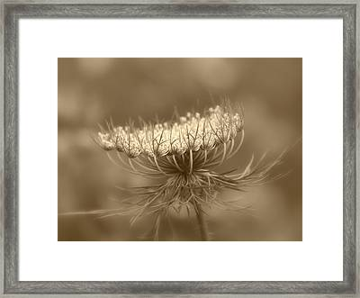 Queen Anne's Lace Framed Print by Kim Hojnacki