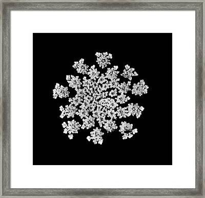 'queen Anne's Snowflake' Framed Print