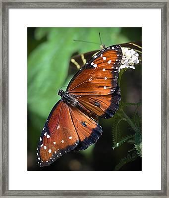 Queen Butterfly Framed Print by Adam Romanowicz