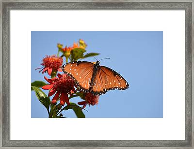 Queen Butterfly Framed Print by Debra Martz