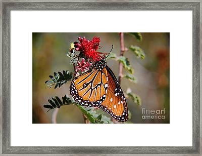 Queen Butterfly Framed Print by Mariola Bitner