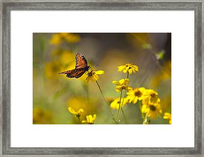 Queen Butterfly On Coreopsis  Framed Print by Mark Weaver