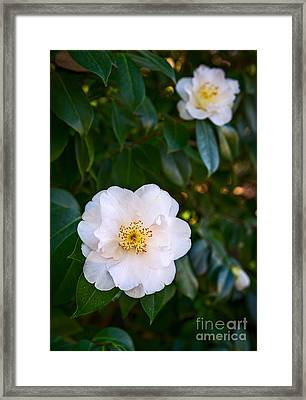 Queen Camellia Framed Print by Jamie Pham