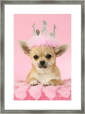 Queen Chihuahua Framed Print by Greg Cuddiford