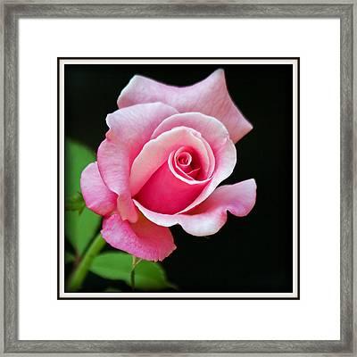 Queen Elizabeth Rose Framed Print