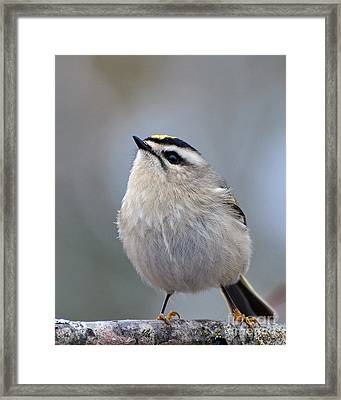 Queen Of The Kinglets Framed Print