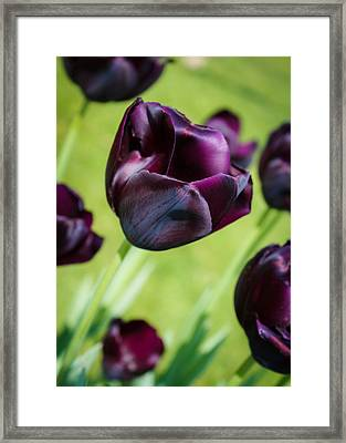 Queen Of The Night Black Tulips Framed Print by Peta Thames