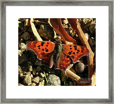 Framed Print featuring the photograph Question Mark Butterfly by Donna Brown