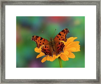 Question Mark Butterfly, Polygonia Framed Print by Darrell Gulin