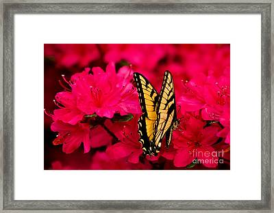 Quick Nip Of Azalea Framed Print by Julie Clements