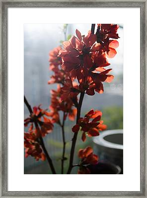 Quince Blossoms Framed Print