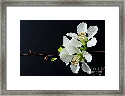 Quince Branch 2012 Framed Print by Art Barker