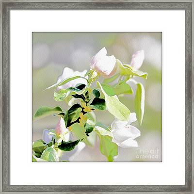 Quince Flower Framed Print by Mateo Brigande