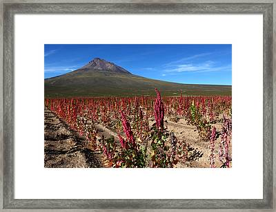 Quinoa Field Chile Framed Print by James Brunker