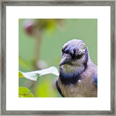 Quizzicle Blue Jay Framed Print
