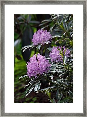 R. Ponticum Variegatum Framed Print