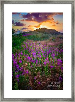 Raabjerg Fireweeds Framed Print by Inge Johnsson