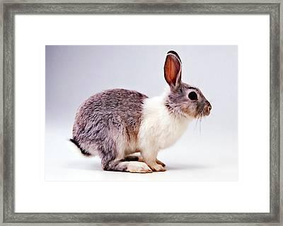 Rabbit  3 Framed Print by Lanjee Chee