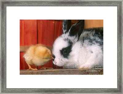 Rabbit And Chick Framed Print