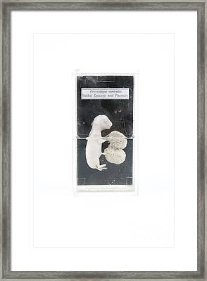 Rabbit Embryo Framed Print