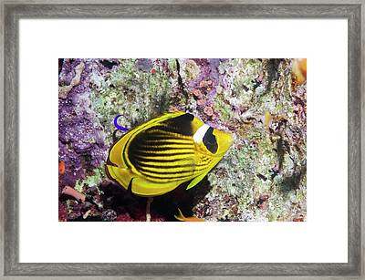 Raccon Butterflyfish Framed Print by Georgette Douwma