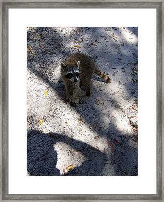 Framed Print featuring the photograph Raccoon 0311 by Chris Mercer