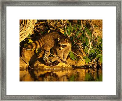 Raccoon At Dusk Framed Print