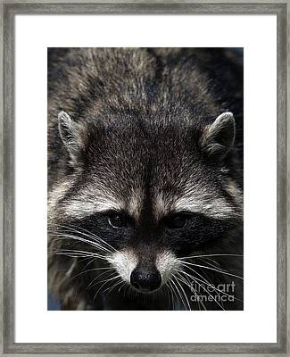 Raccoon Encounter Framed Print by Sharon Talson
