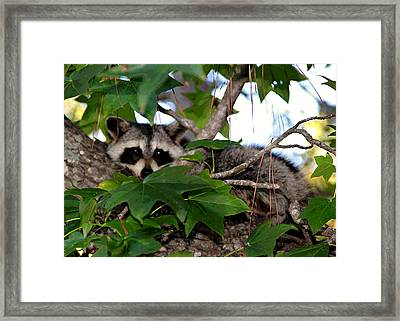 Raccoon Eyes Framed Print