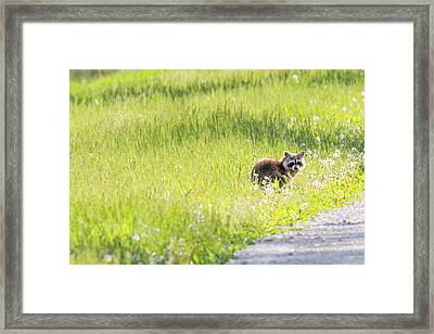 Raccoon In Green Field Framed Print by Jill Bell