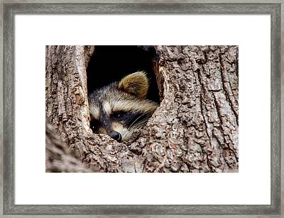 Raccoon In Tree Framed Print by Jill Bell