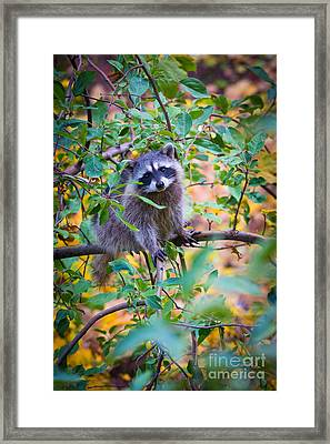 Raccoon Framed Print by Inge Johnsson