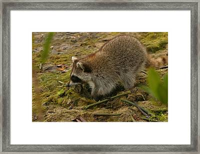 Raccoon Framed Print by Mark Russell