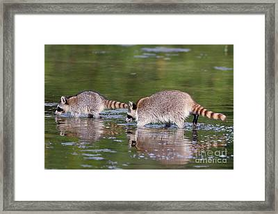 Raccoon Mother And Baby Framed Print