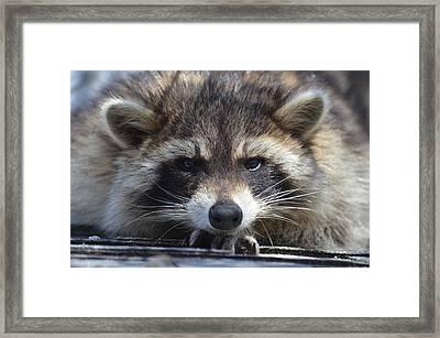 Raccoon -p Framed Print