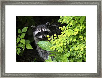 Raccoon Peek-a-boo Framed Print by Sharon Talson