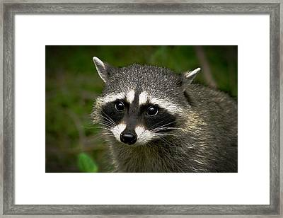 Raccoon Framed Print by Robert Bales