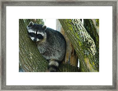 Raccoon, Skagit Valley, Washington, Usa Framed Print