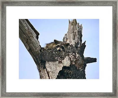 Raccoon Waiting. Lake Marion Creek W.m.a. Framed Print