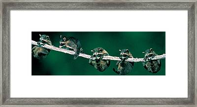Raccoons Concept Alberta Canada Framed Print by Panoramic Images