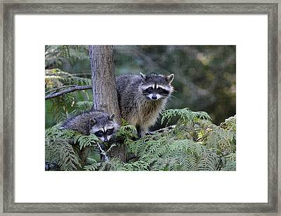 Raccoons In Stanley Park Framed Print by Maria Angelica Maira