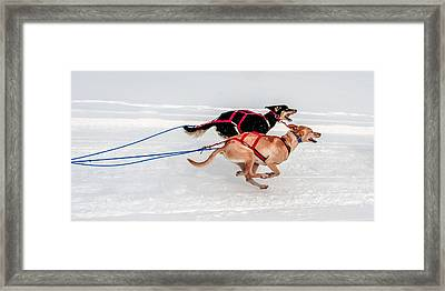 Racing Sled Dogs Framed Print
