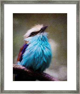 Racket-tailed Roller Framed Print