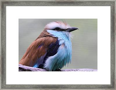 Racquet Tailed Roller Framed Print