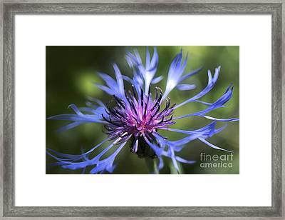 Radiant Flower Framed Print by Belinda Greb