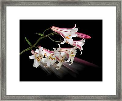 Radiant Lilies Framed Print by Gill Billington