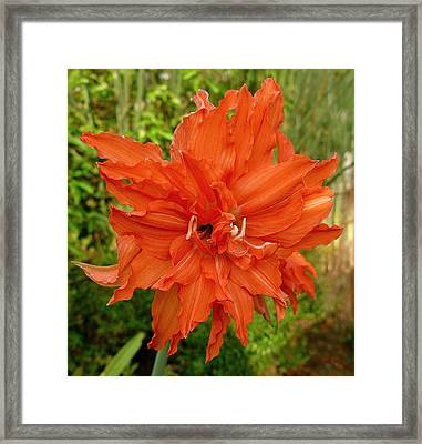 Radiant Lily Framed Print by Gregory Young